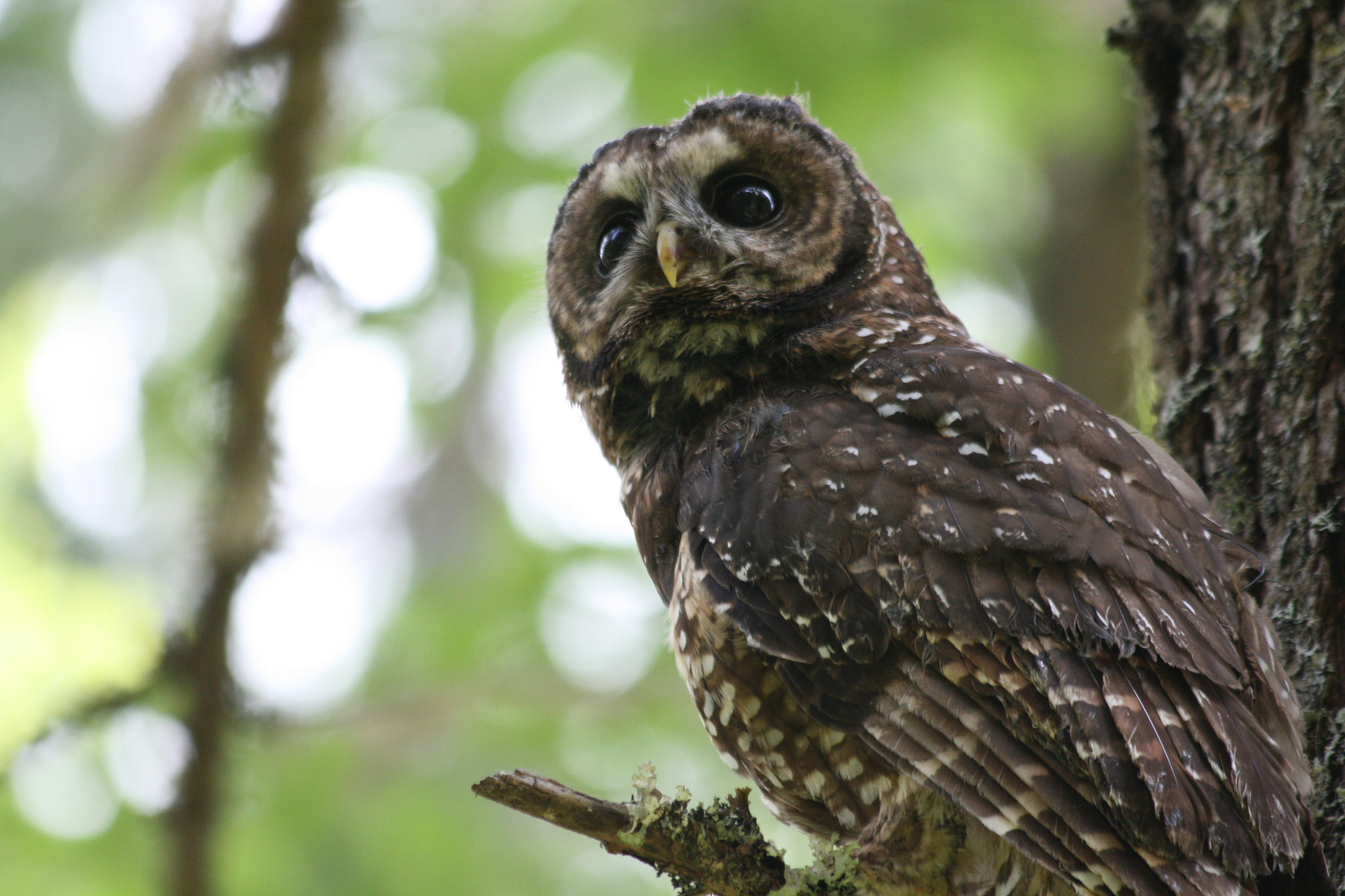 spotted owl controversy essays The northern spotted owl controversy in 1990, the logging industry estimated up to 30,000 of 168,000 jobs would be lost because of the owl's status.